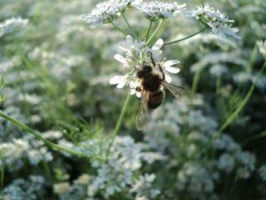 Мед кориандровый