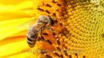 Мед разнотравье с подсолнухом