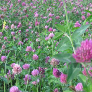Семена пасбищных и медоносных трав